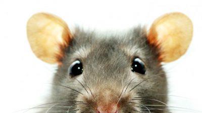 Șoarecii bâlbâiți pot descoperi misterul bâlbâielii