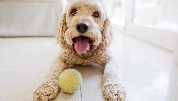 Cum să ai un discurs mai bun: vorbește în fața unui câine