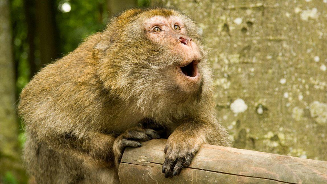 De ce nu pot maimuțele vorbi și cum ar suna dacă ar putea